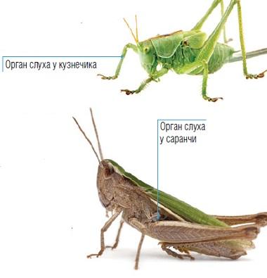 слух насекомых