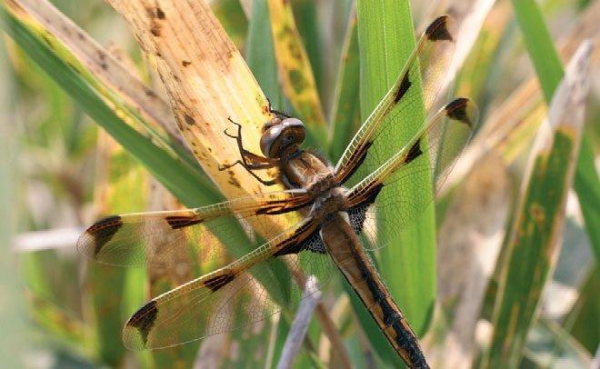 Самка стрекозы Ангелина