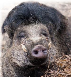 Свиня бородавчаста