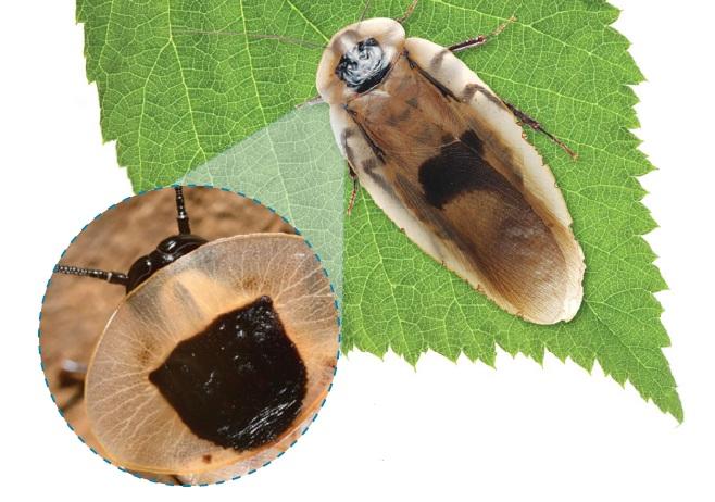 Центральноамериканский гигантский таракан