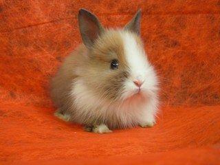 Карликові кролики. Догляд та утримання