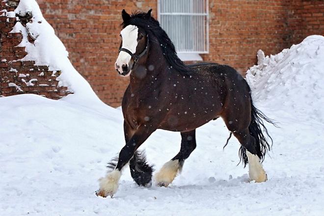 Владимирская тяжеловозная лошадь
