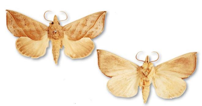 Бабочка-вампир