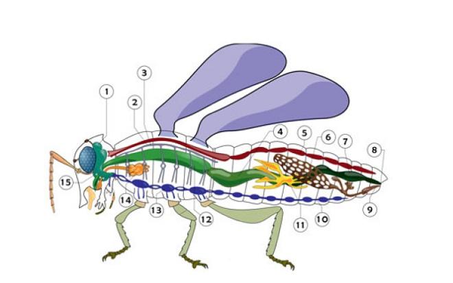 Внутренне строение насекомого