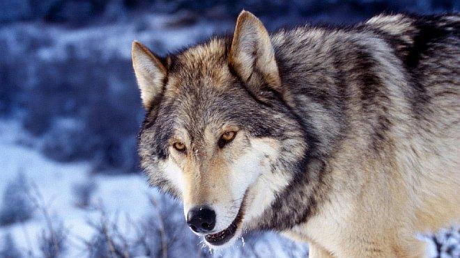 Серый волк - Познаем мир животных