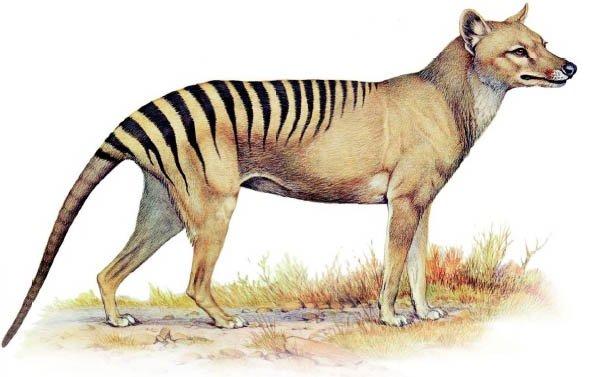Сумчастий або тасманійський вовк, або тилацин