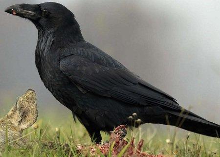 Ворон (птах)