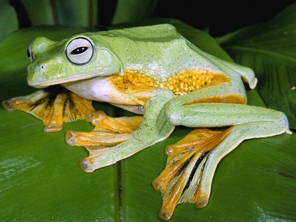 Якісь жаби вміють літати? Цікаво про земноводних
