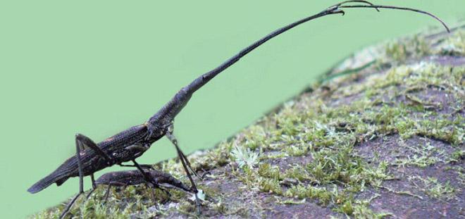 Lasiorhyncus barbicornis