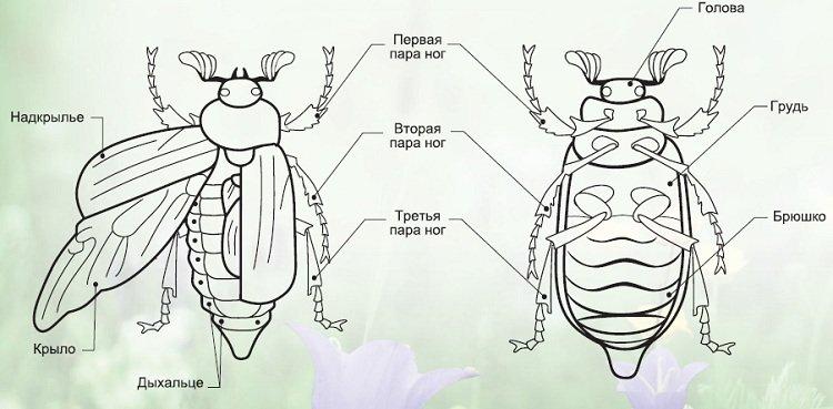 Строение жук