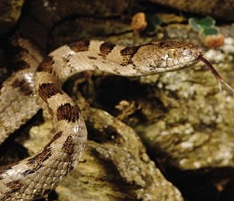 Змія котяча звичайна