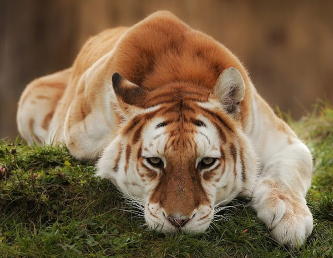 Редкий золотой тигр