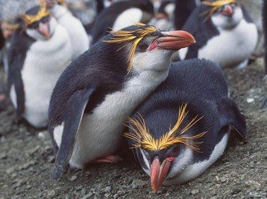Золотоволосий пінгвін | Сайт про тварин
