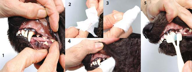 Уход за зубами и полостью рта собаки
