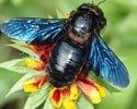 Пчелка-плотник