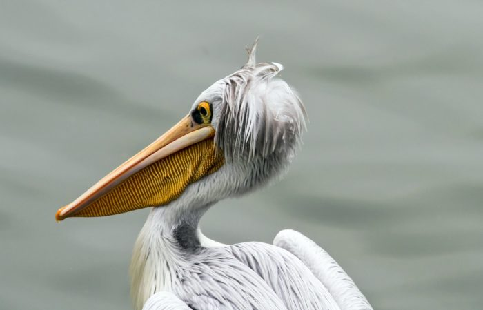 Пеликанообразные птицы