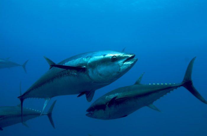 Синий тунец