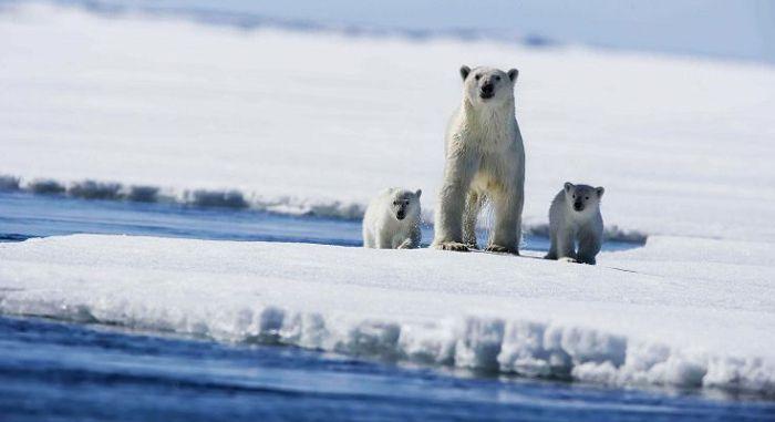 животные на Северном полюсе