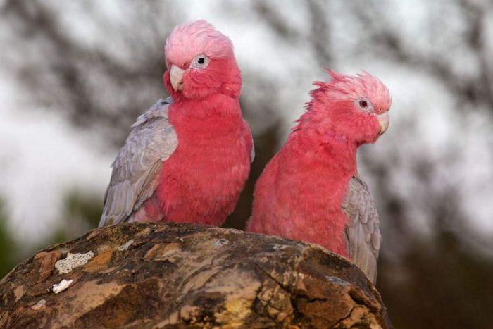 Какаду розовый