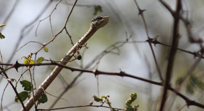 Серая древесная змея