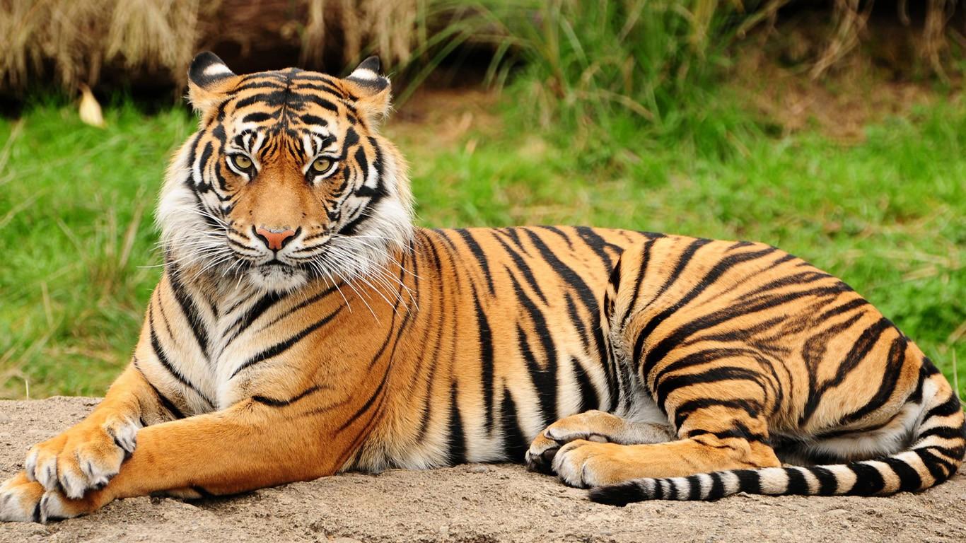 Тигр. Опасность для человека. Как выглядит и где живет.