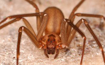 Погребной паук