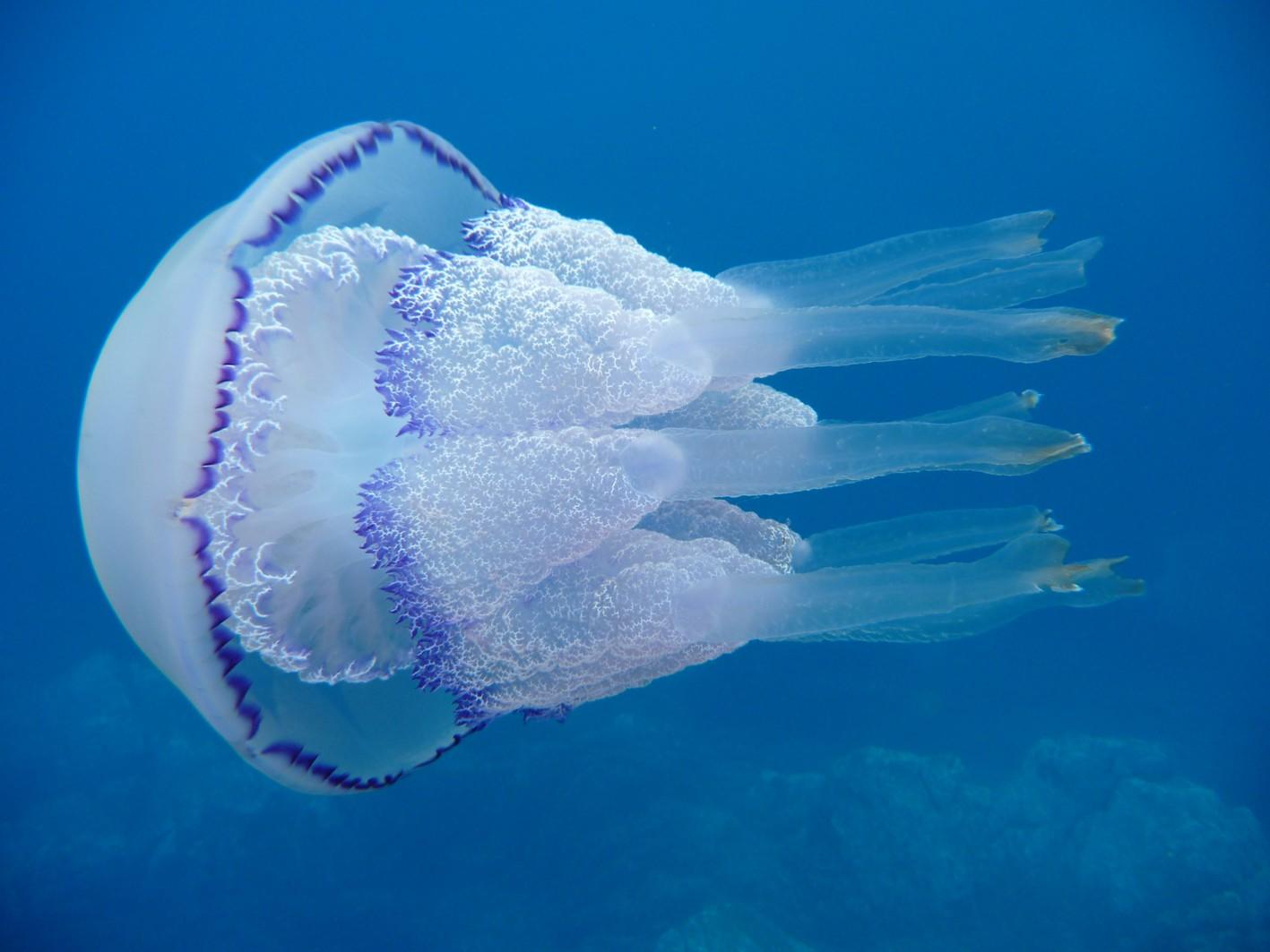 Доклад по биологии медуза крестовичок 6872
