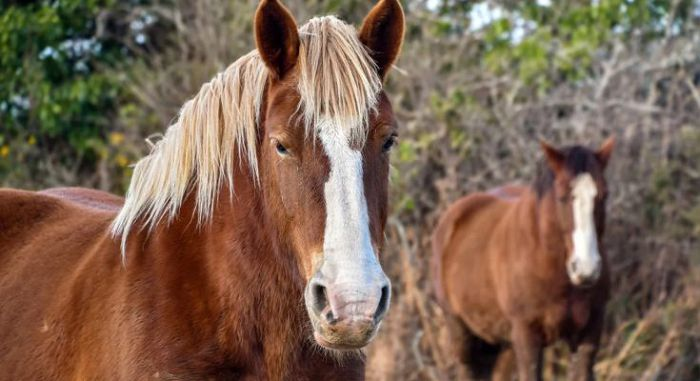 Бретонская лошадь