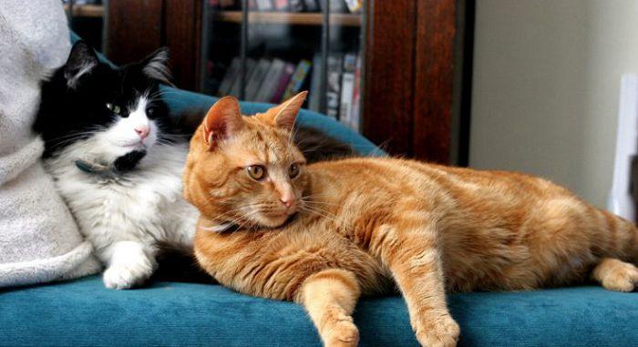 Разведение кошек