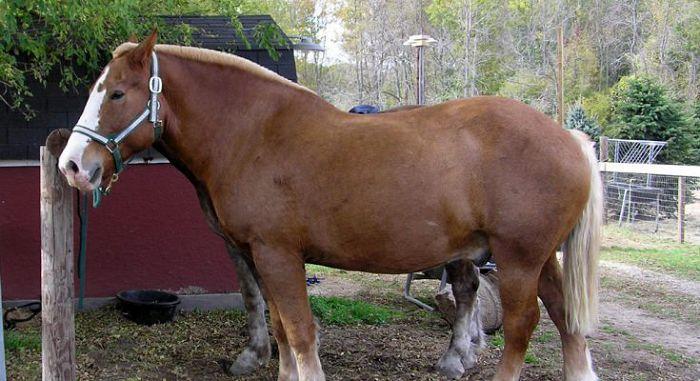 Брабансонская лошадь