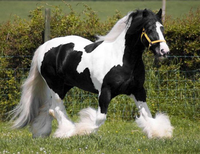 Клейдесдальская лошадь