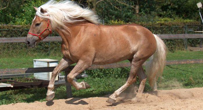 Австрийские лошади