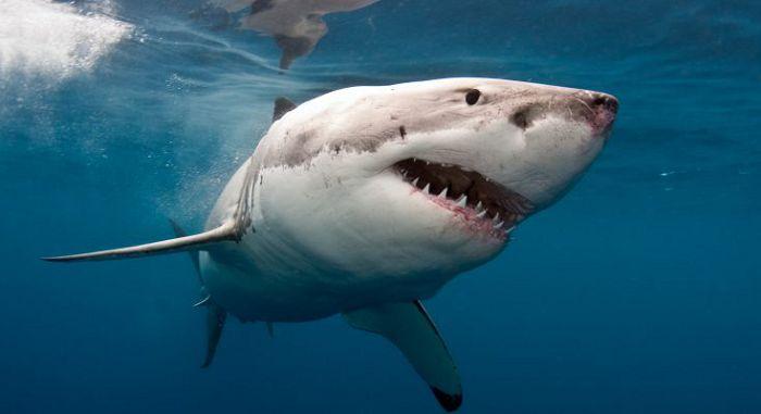 Акула белая