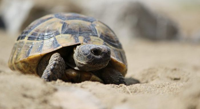 Черепаха средиземноморская