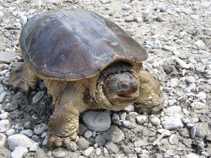 Кайманова черепаха