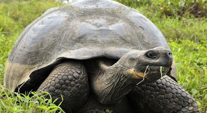 Слоновая черепаха