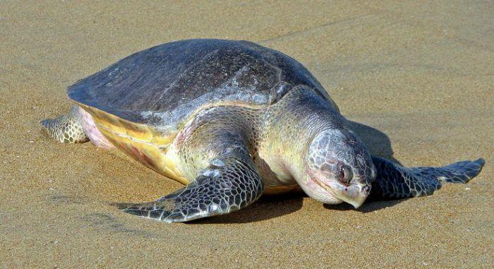 Черепаха оливковая