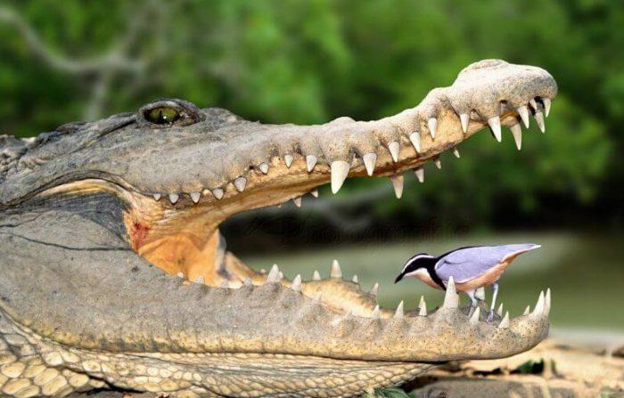 чибис и крокодил