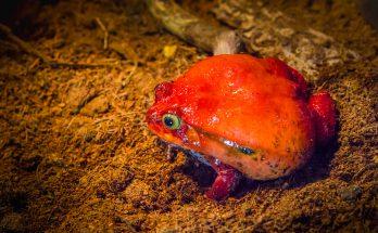Лягушка-помидор