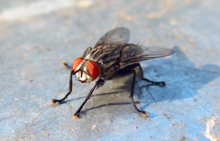 комнатные мухи