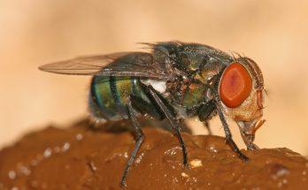 Почему мухи любят навоз