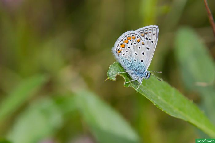 голубянка брефидиум