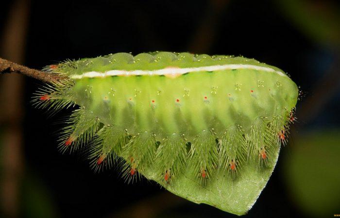 гусеницы слизневидок