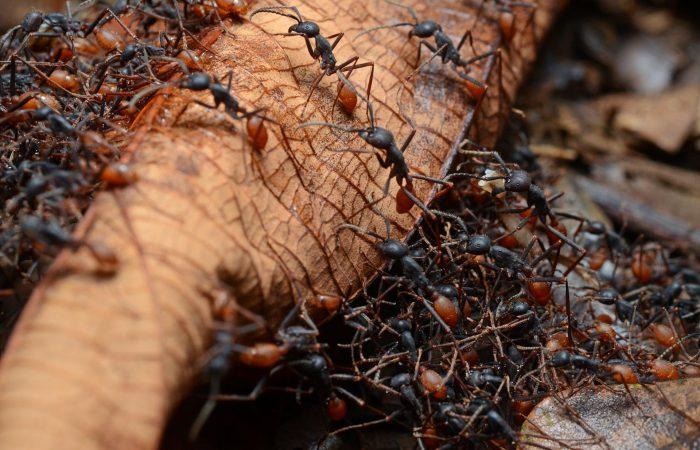 Бродячие муравьи
