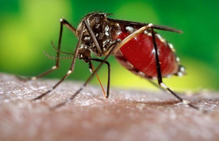 комар пьёт кровь