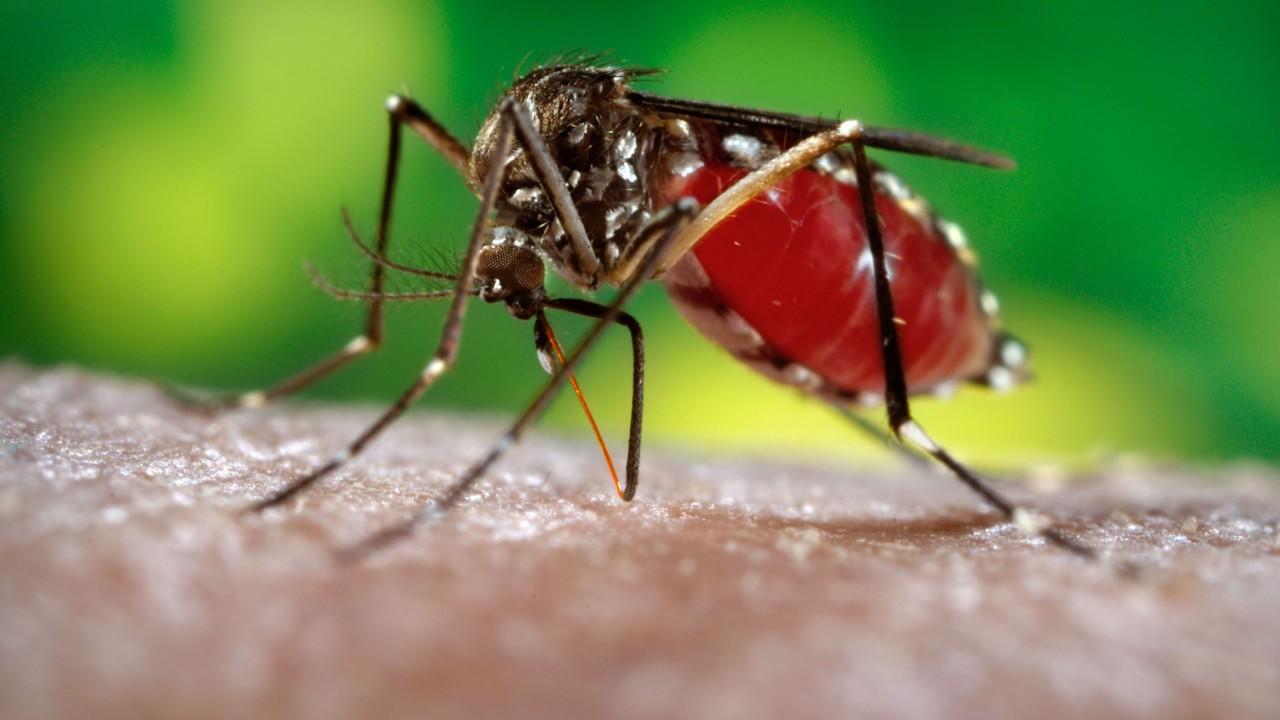 что пьют комары