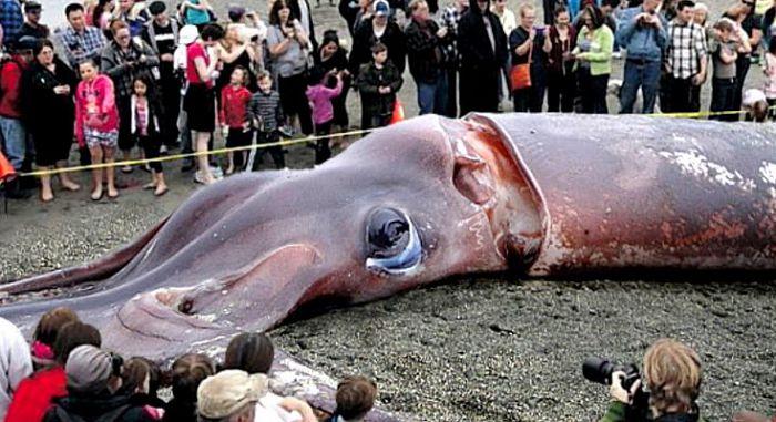 гигантский кальмар