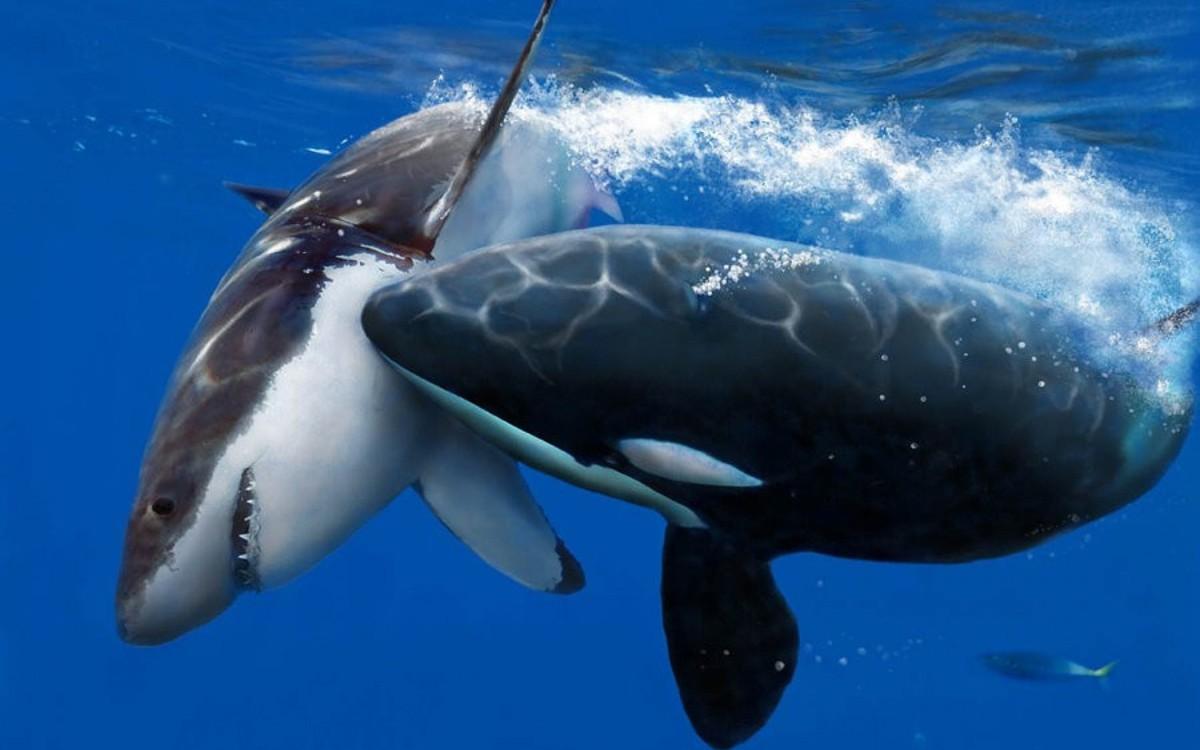 кто сильнее синий кит или касатка
