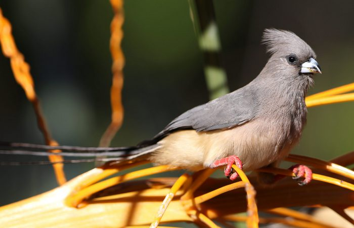 птица-мышь