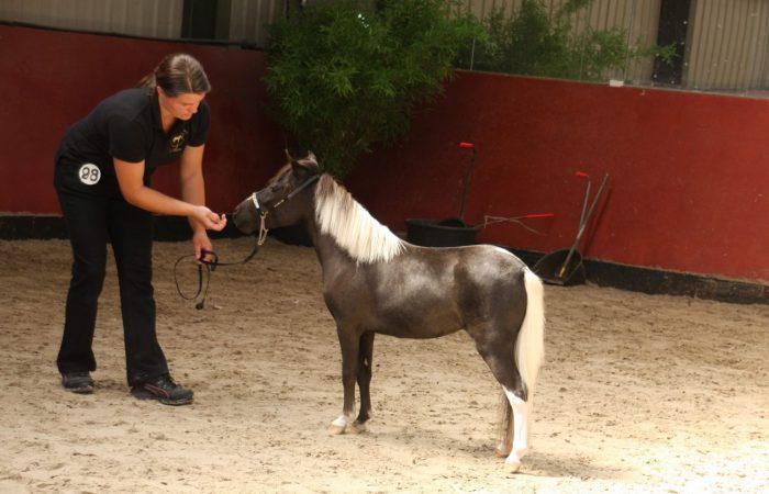 Аргентинская порода лошадей Фалабелла
